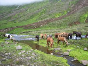 Islandpferde Sommer