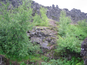 Birken auf Island